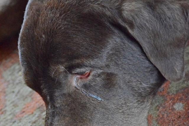 Наталья увидела слезу в глазах преданной хозяином собаки и решила спасти.