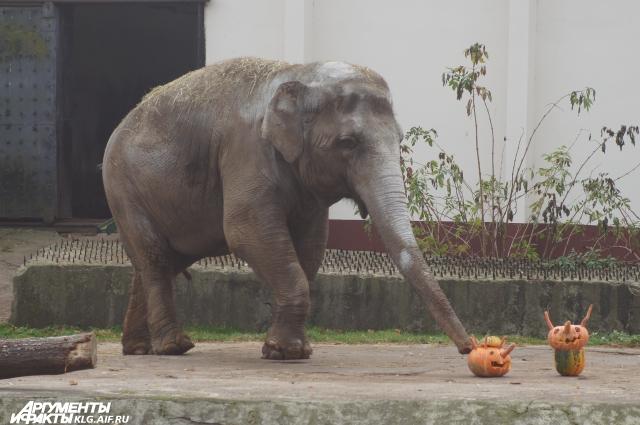 зоопарк калининграда, слониха преголя