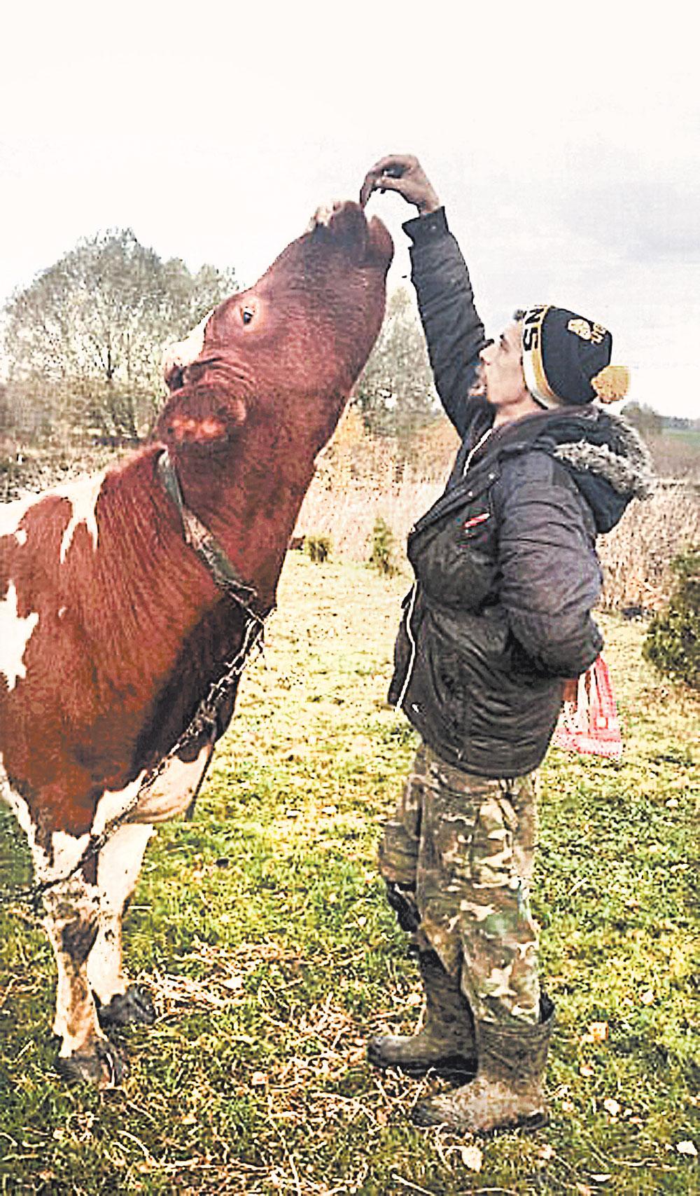 Корова Маруся - любимица главы семьи.