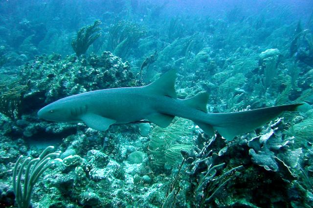 Усатая акула-нянька у берегов Белиза.