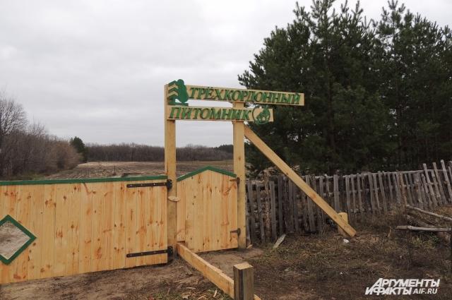 Трёхкордонный питомник место, где выращивают сосны для всей Волгоградской области