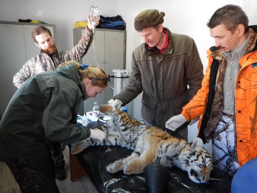 Специалисты проводят осмотр хищника.