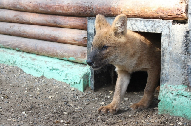Знаменитые волки из книги про Маугли.