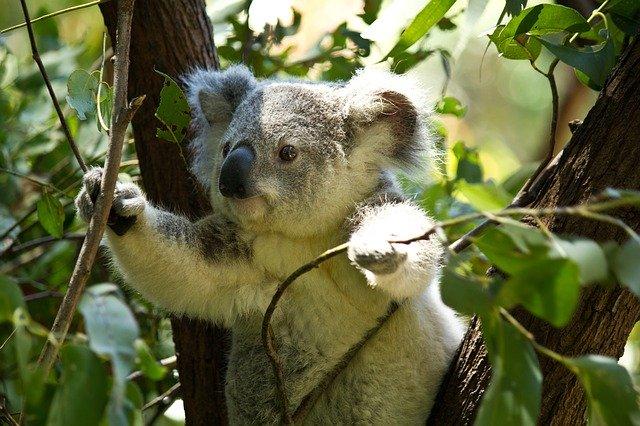 А вы знали, что панды на самом деле не едят эвкалипт?