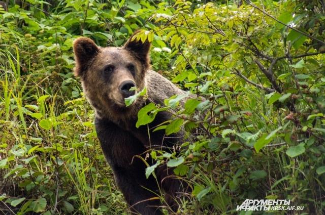 Больше всего людей в последнее время пострадали от медведя.