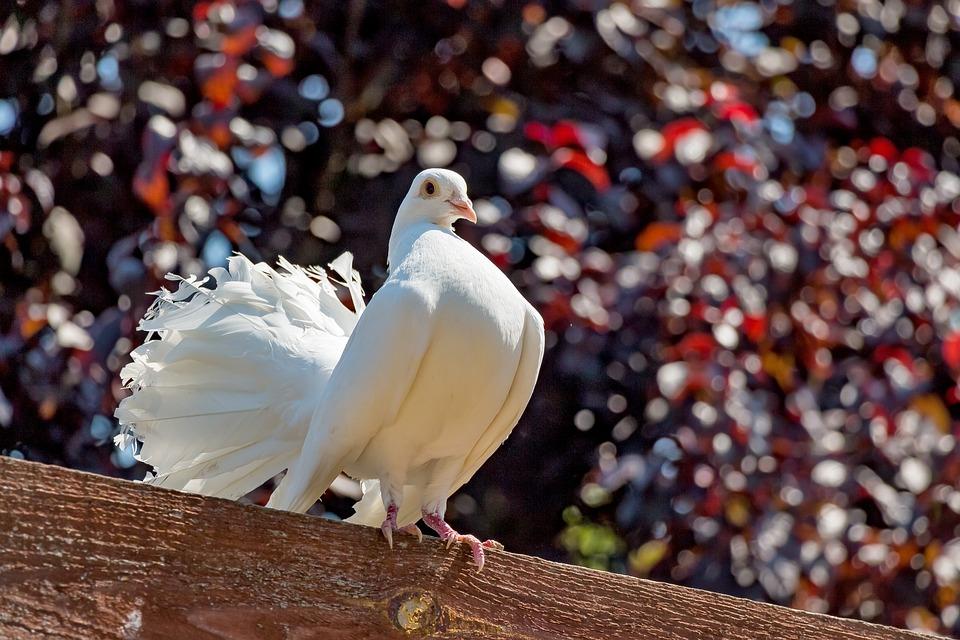 белый голубь, голубь мира,