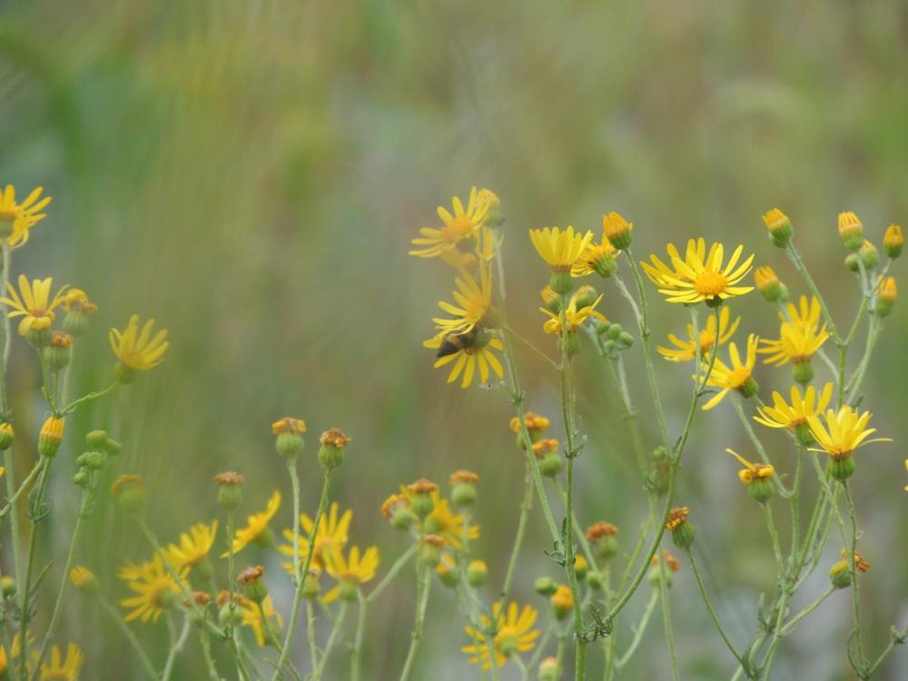 Донник отличный пчелиный медонос