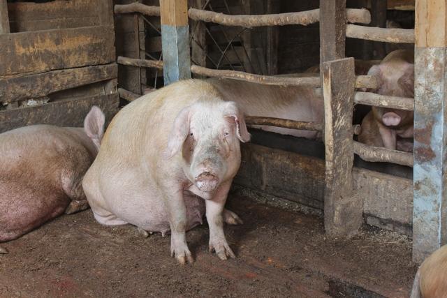 Фермер Ушаков кормил свиней отходами со свалок.