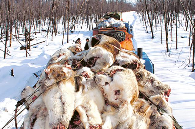 20 тыс. северных оленей за один сезон убили браконьеры.