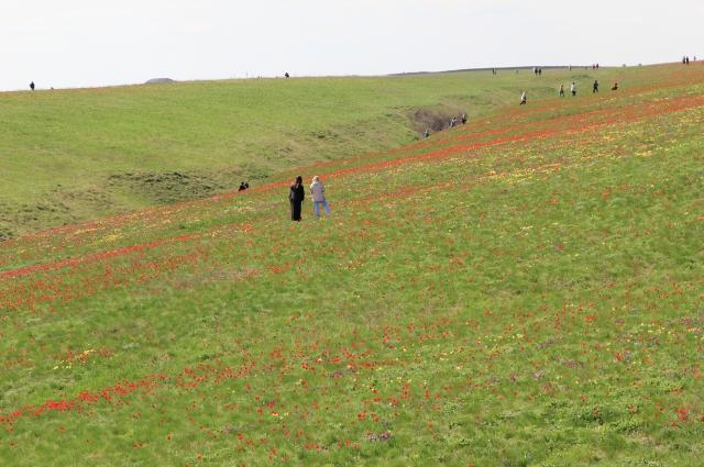 Тюльпаны растут на холмистой местности, вблизи водоёмов!