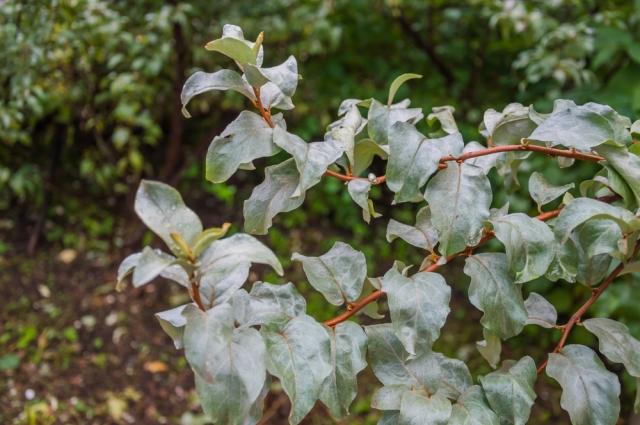Лох серебристый (Elaeagnus argentea).