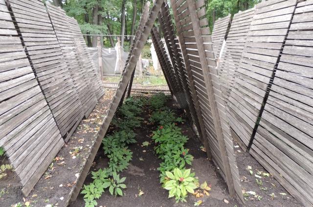 Женьшень любит тень, поэтому его укрывают специальными деревянными навесами