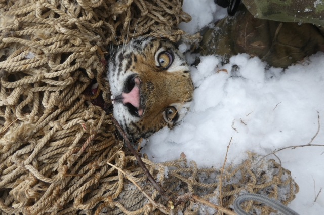Центр «Амурский тигр» взял на себя все расходы по лечению и содержанию тигрицы.