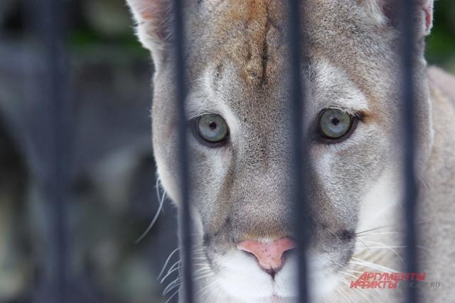 новосибирский зоопарк пума