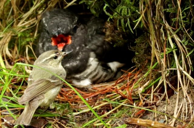 Этот же птенец на 17 сутки – кормит его самка тусклой зарнички.
