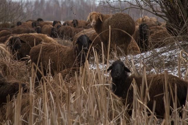 «Мы загоняем стадо сюда только в лютый мороз и когда снег овцам выше колена, а то и по брюхо».