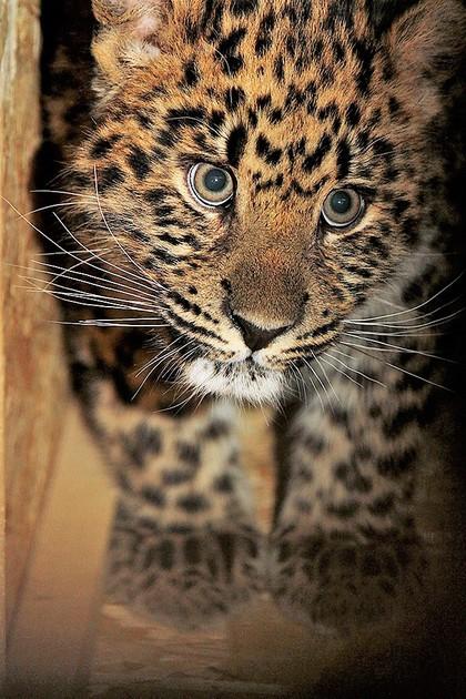 Дальневосточный леопард Амур