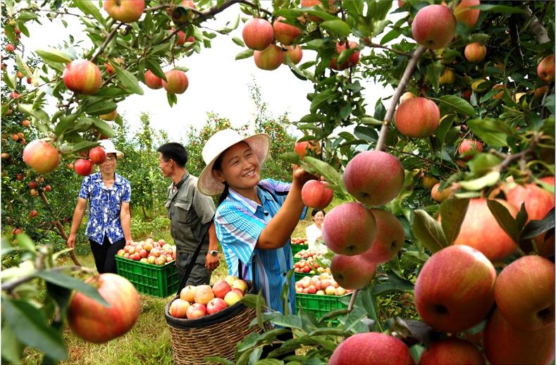 Богатый урожай яблок -  на стол народный.