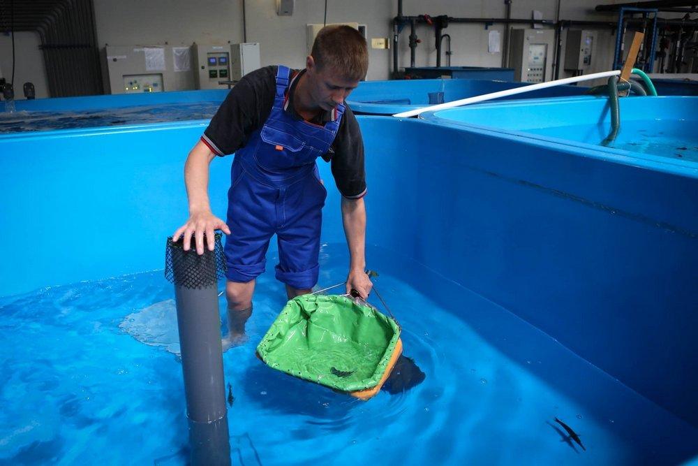 Рыбу из танков достают сачком для нетравматического лова.