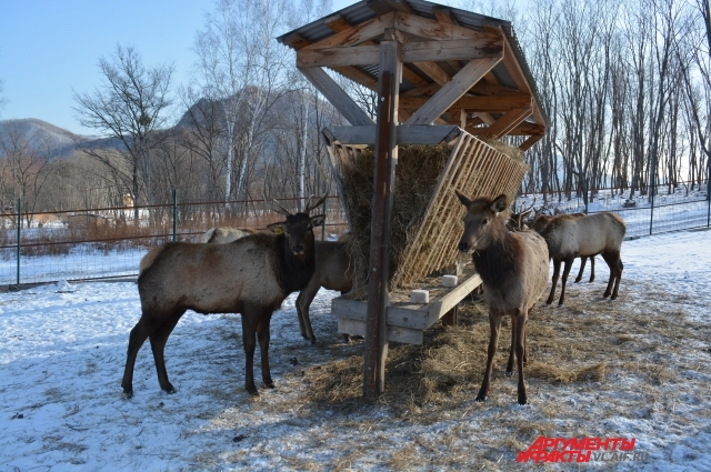 Ужас от переезда на новую родину позади - в Приморье красавцев маралов кормят досыта.