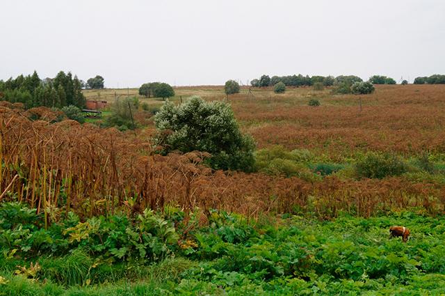 Леса борщевика в деревне Лёвково уже много лет не меняются.