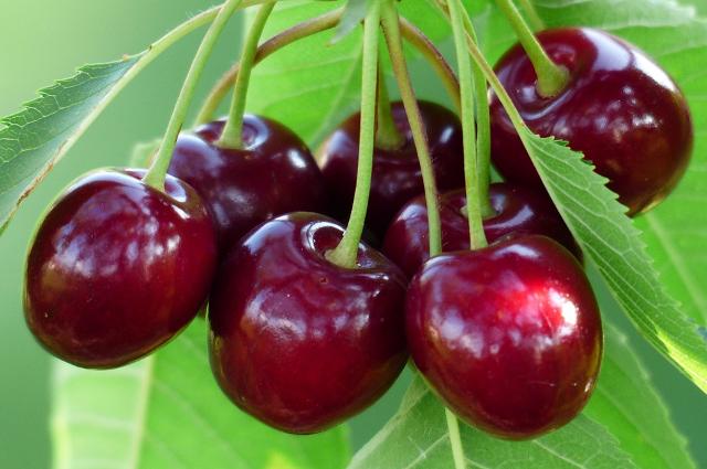 Переувлажнение почвы также неблагоприятно влияет на созревание ягод и фруктов.