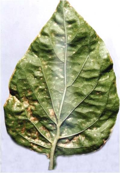 Лист перца, пораженный калифорнийским трипсом.
