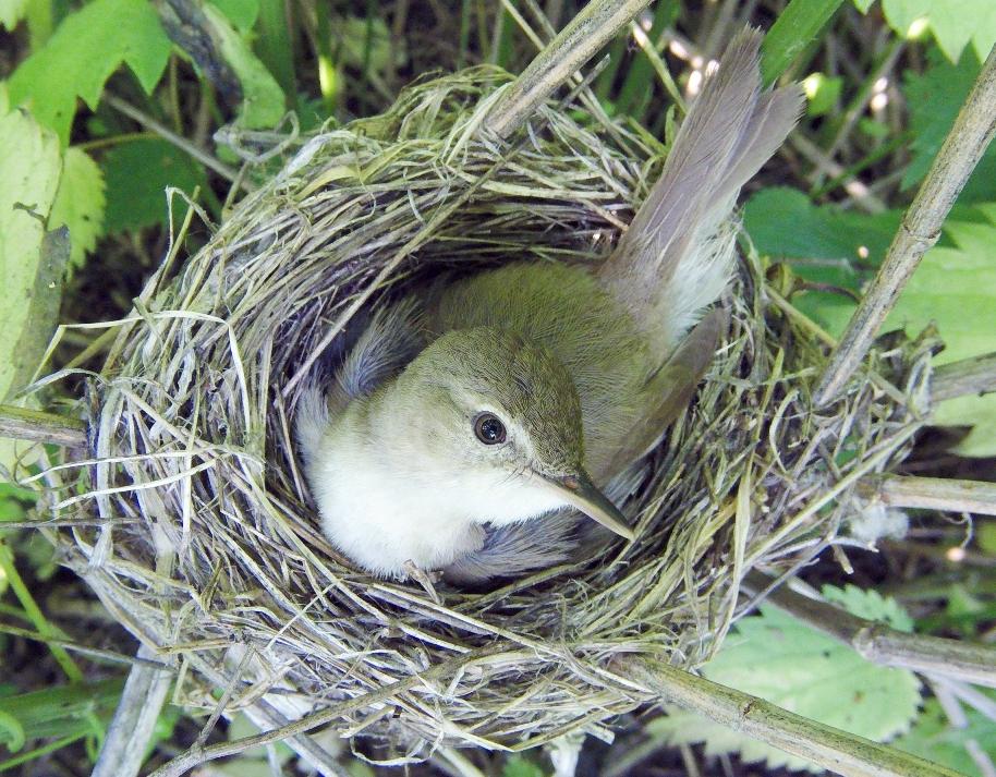 Заросли крапивы– уютное место для гнезда садовой камышовки.