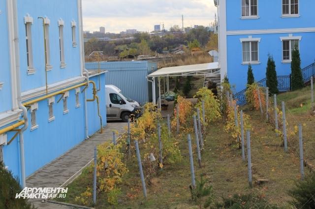 Виноград выращивают в монастыре традиционно с дореволюционных времён.