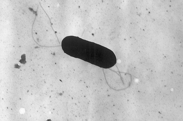 Бактерия Listeria monocytogenes.