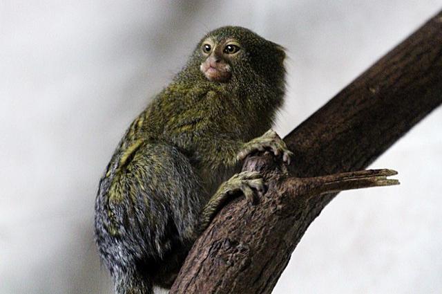 Карликовые игрунки - самые маленькие обезьяны