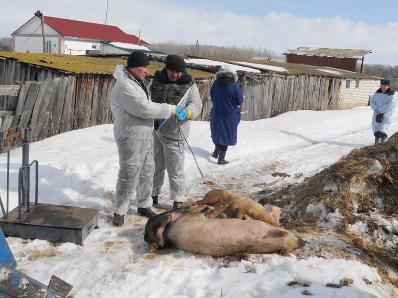 Больных животных уничтожают бескровным методом.