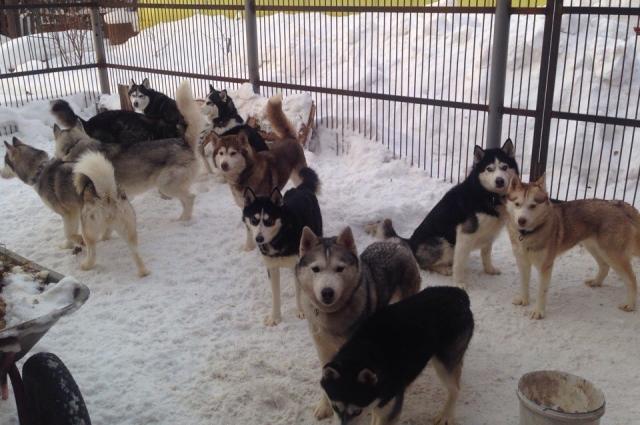 У Дениса в питомнике при частном доме живёт 17 собак. По его словам, питомцы никогда не дерутся.