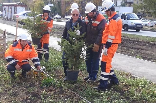 Коммунальщики восстанавлиют зелёные насаждения на месте ремонта. Владимир Василенко помогает высаживать ели.