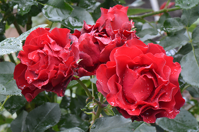 Последние цветки розы 'Hommage a Barbara'.