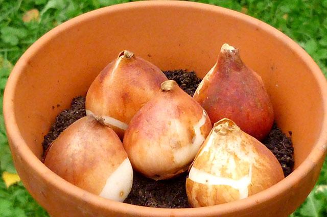 Луковицы для выгонки сажают плотно инеглубоко.