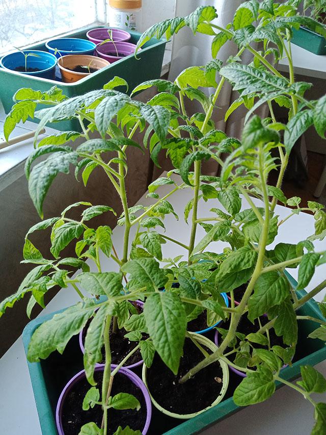 Пикировка томатов повышает качество растений в дальнейшем.