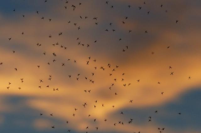 Рой комаров.