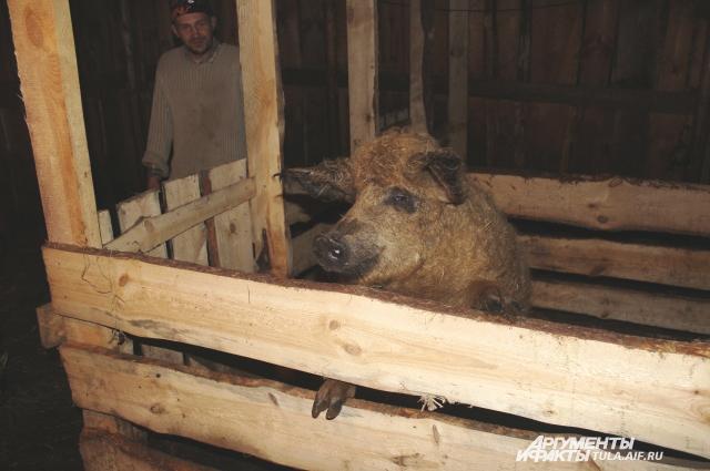 Крупный житель свинарника...