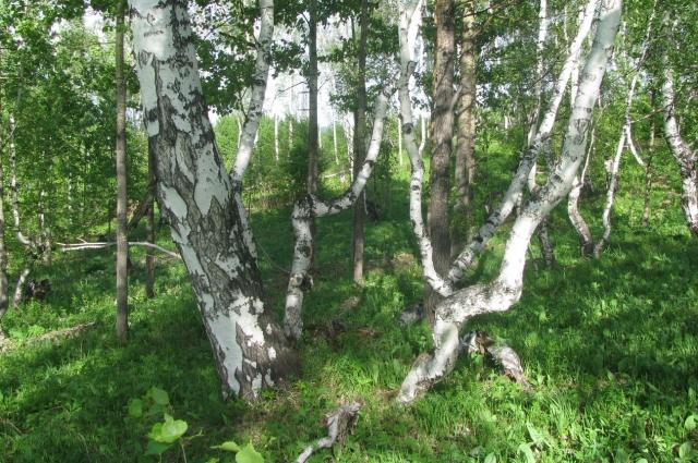 Стволы деревьев приняли причудливые формы.