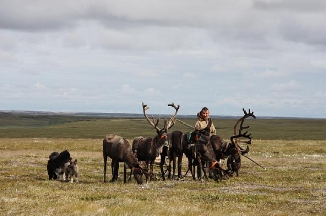В тундре олени заменяют транспорт, еду и лекарство. Без оленей не станет и тундры, говорят кочевники.