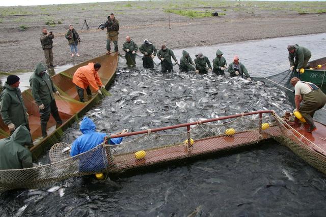 Путина, лосось, рыбаки