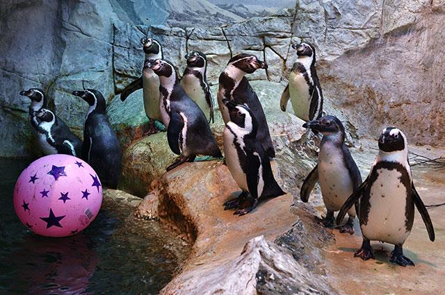 Пингвины Гумбольдта в Московском зоопарке.