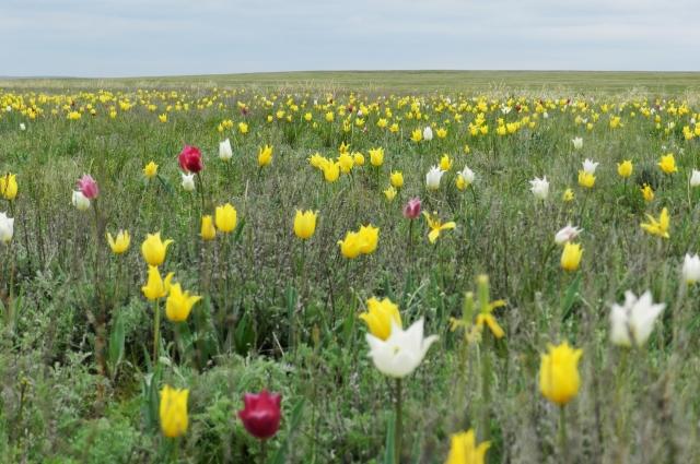 Скоро такие тюльпанные поля останутся только в заповеднике и на фото.