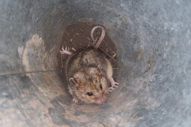 Полевая мышь.