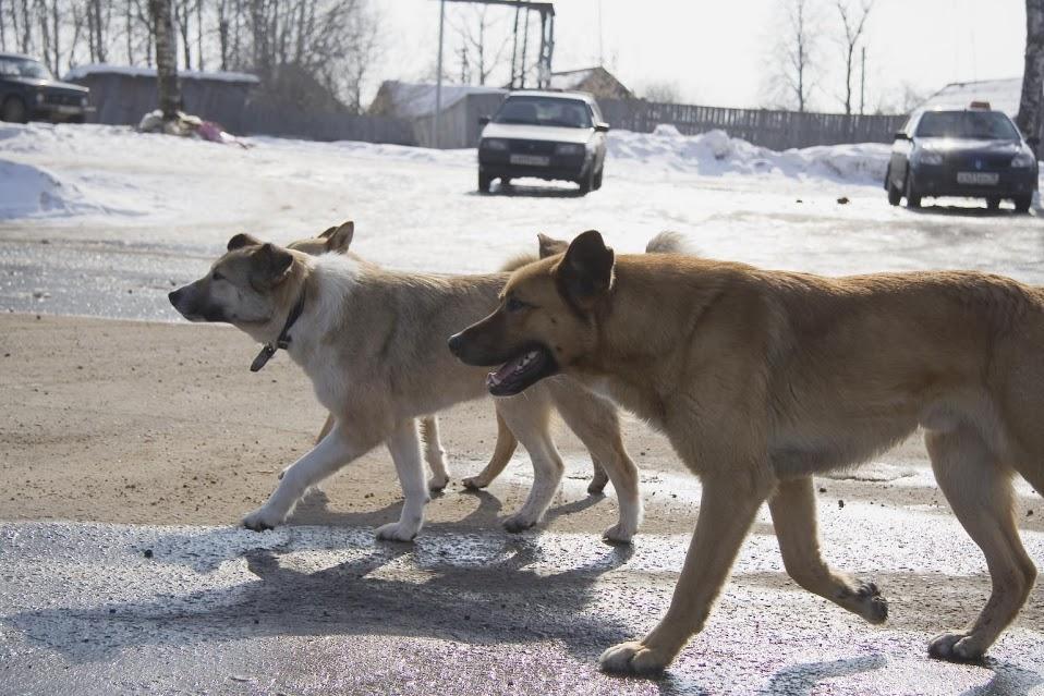 По Петрозаводску бегают сотни бродячих собак