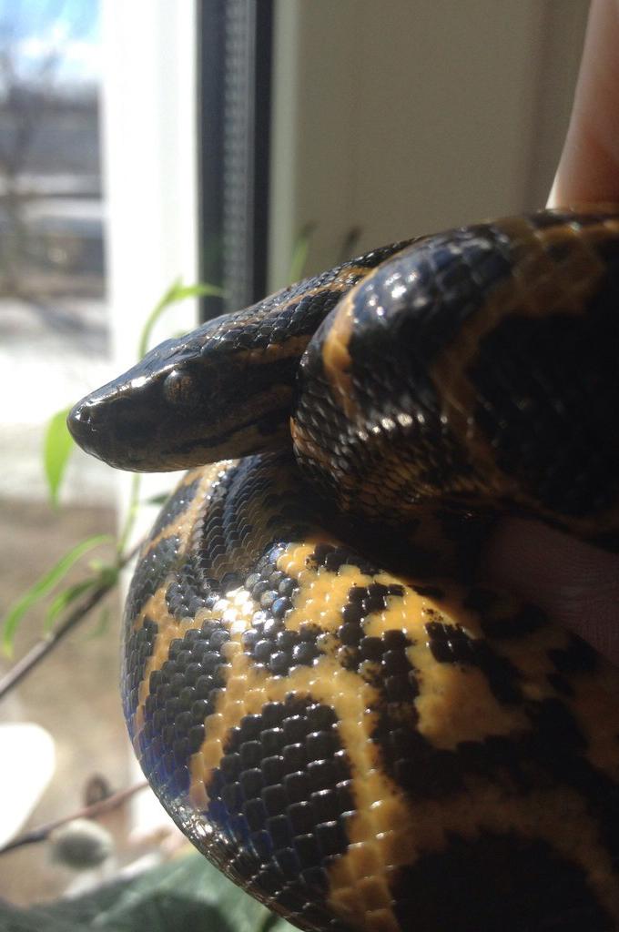 Анаконда - динамичная, немного агрессивная змея.