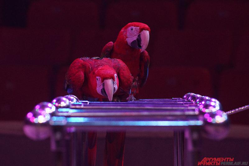Попугаи воспринимают дрессировщицу скорее как близкого друга, чем наставницу или маму.