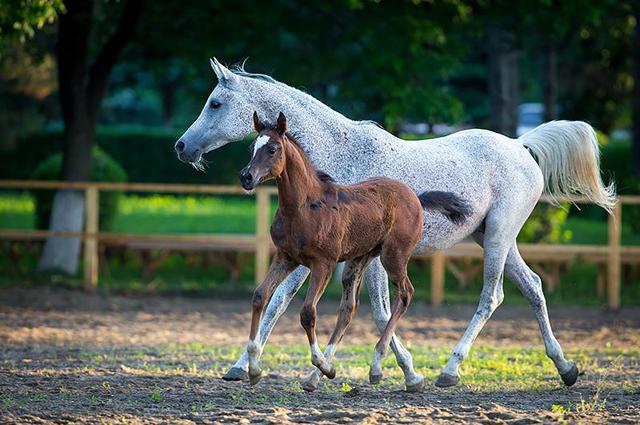 Когда лошади выступают сжеребятами, это особенно трогательно.