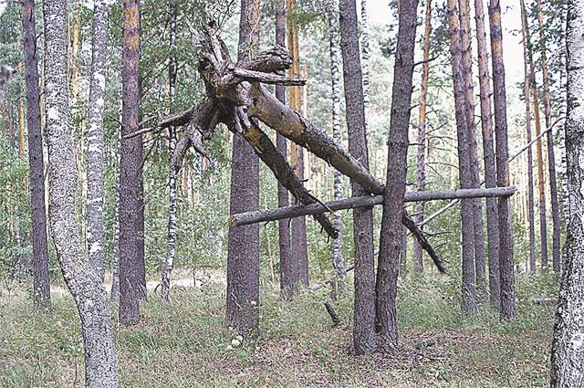 Такие причудливые сооружения попадаются в вятских лесах